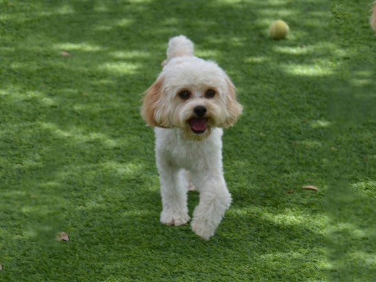Artificial Grass Photos: Synthetic Lawn Rubidoux, California, Grass for Dogs